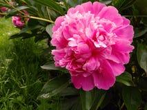 Одиночный цветок пиона Стоковые Изображения