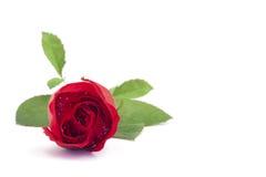 Одиночный цветок розы красного цвета Стоковые Фотографии RF