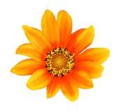 Померанцовая картина цветка gerbera изолированная HDR Стоковое Изображение