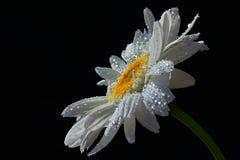 Одиночный цветок Leucanthemum Vulgare маргаритки вол-глаза с падениями воды на белых лепестках, черной предпосылки Стоковые Изображения RF