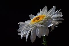 Одиночный цветок Leucanthemum Vulgare маргаритки вол-глаза с падениями воды на белых лепестках, черной предпосылки Стоковое Изображение