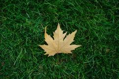 Одиночный цвет падения осени кленового листа полностью Стоковая Фотография