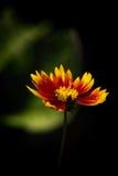 Одиночный Coreopsis в саде Стоковая Фотография RF