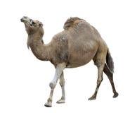 Одиночный-Humped верблюд Стоковое Фото