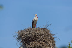 Один аист стоя в большом гнезде Стоковые Изображения