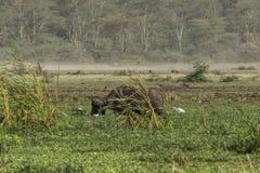 Один африканский буйвол на болоте Стоковое Изображение