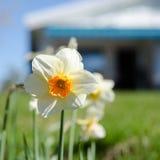 Один белый и оранжевый красивый цветок Стоковое Изображение RF