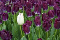 Один белый тюльпан в цветени с много фиолетовых одних Стоковые Изображения RF