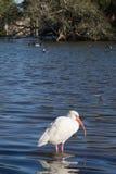 Один белый ibis стоя в мелководье Стоковые Фото
