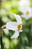 Один белый narcissus Стоковое Изображение RF