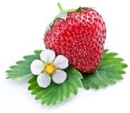 Один богатый плодоовощ клубники с цветком. Стоковое Изображение RF