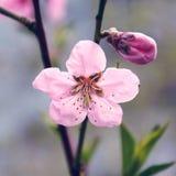 Один большие цветок и бутон Стоковая Фотография RF