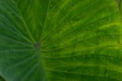 Один большой зеленый тропический лист - Стоковая Фотография