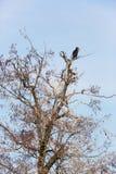 Один большой carbo Phalacrocorax баклана сидя на дереве Стоковая Фотография