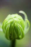 Один бутон крышки маргаритки головной поверхностный конец вверх Стоковое Изображение