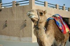 Один верблюд в музее зоны Shindagha, Дубая, UAE стоковое фото rf