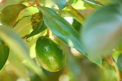 Один вид плодоовощ авокадоа на дереве Стоковое Изображение RF