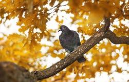 Один голубь сидит на ветви дуба Стоковые Фотографии RF