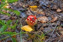 Один гриб мухы пластинчатого гриба Стоковые Изображения