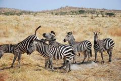 Один день сафари в Танзании - Африке - зебры Стоковое фото RF