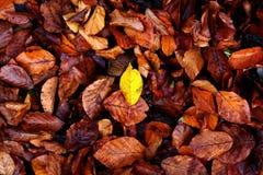 Один желтый лист и много коричневый цвет Стоковое Изображение