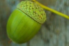 Один зеленый крупный план жолудя на деревянной предпосылке Стоковые Изображения