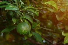 Один лимон на дереве Стоковые Изображения RF