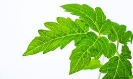 Один лист томата Стоковая Фотография