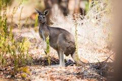 Один кенгуру в одичалом Стоковое Изображение