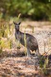 Один кенгуру Стоковые Фотографии RF