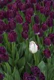 Один красивый белый тюльпан в цветени с много фиолетовых одних Стоковое Изображение RF