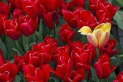 Один красивый желтый тюльпан с много красных одних Стоковое Изображение