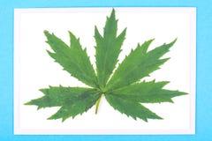 Один красивый зеленый лист на голубой предпосылке, абстракции для автомобиля Стоковое Изображение