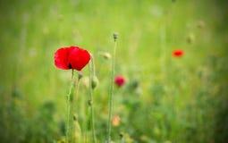 Один красный мак в зеленом поле Стоковая Фотография