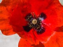 Один красный мак на белой предпосылке Стоковая Фотография RF