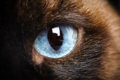 Один крупный план макроса глаза сиамского кота Стоковые Фото