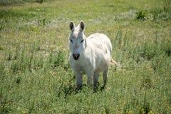 Один маленькие белая лошадь или осел или пони? Стоковое фото RF