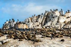 Один малый африканский пингвин на уплотнении Islan Стоковое Изображение