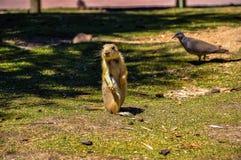 Один милый суслик на зеленом луге Стоковые Фото
