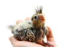 Один младенец длиннохвостого попугая cockatiel Стоковые Изображения