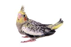 Один младенец длиннохвостого попугая cockatiel Стоковые Фото