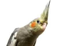 Один младенец длиннохвостого попугая cockatiel Стоковая Фотография RF
