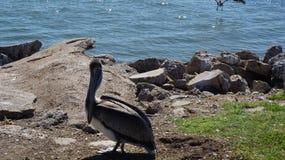 Один пеликан коричневого цвета Галвестона Стоковые Изображения