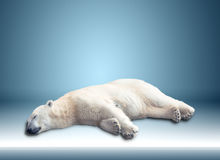 Один полярный медведь стоковое фото