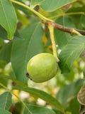 Один плодоовощ regia Juglans на ветви Стоковые Изображения RF