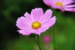 Один розовый цветок имеет желтые и черные цветни в саде - крупном плане Стоковая Фотография