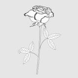 Один розовый эскиз черно-белый Стоковые Фото