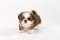 Один смешной щенок shih-tzu Стоковые Фотографии RF