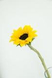 Один солнцецвет в ясной вазе Стоковая Фотография