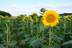 Один солнцецвет идя против потока и подачи путем смотреть другой путь в поле Стоковая Фотография RF